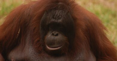 animal, monkey, orang utan