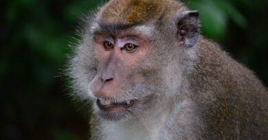 makake, macaque, monkey